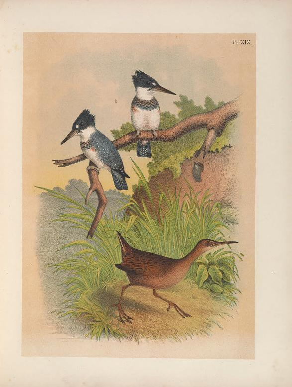color illustration of a clapper rail running in the foreground, with two belted kingfishers perched on driftwood in the background